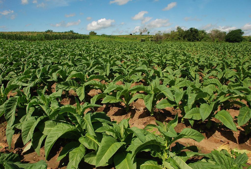 Entidades orientam fumicultores a plantar menos na próxima safra