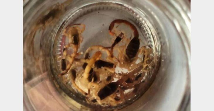 Aparecimento de escorpiões no interior de Ituporanga requer cuidados dos moradores