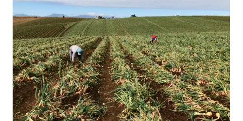 Falta de cebola no mercado faz com que produto seja comercializado a R$ 1.50 na região