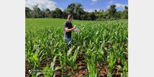 Incidência da cigarrinha do milho junto com a estiagem reduz em 20% a produção do grão em SC