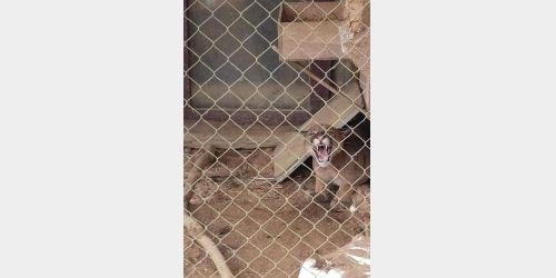 Leão Baio é encontrado em cercado de uma residência no Cerro Negro em Ituporanga