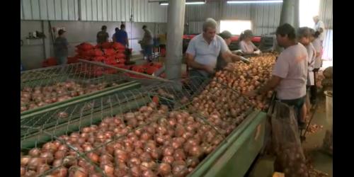 Com safra recorde em SC, produtores de cebola reclamam de preço baixo