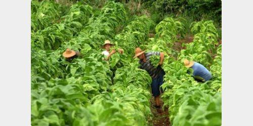 Produtores de fumo enfrentam dificuldades para conseguir financiamentos para diversificação da propriedade