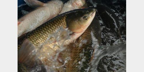 Vidal Ramos vai realizar Feira do Peixe Vivo