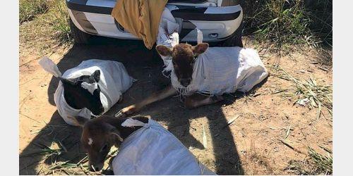 Polícia Rodoviária flagra motorista transportando três bezerros em automóvel