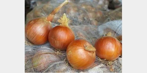 Produtores de cebola no Alto Vale encontram dificuldades para comercialização