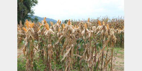 Secretaria da Agricultura inicia distribuição de 200 mil sacas de sementes de milho do Programa Terra Boa